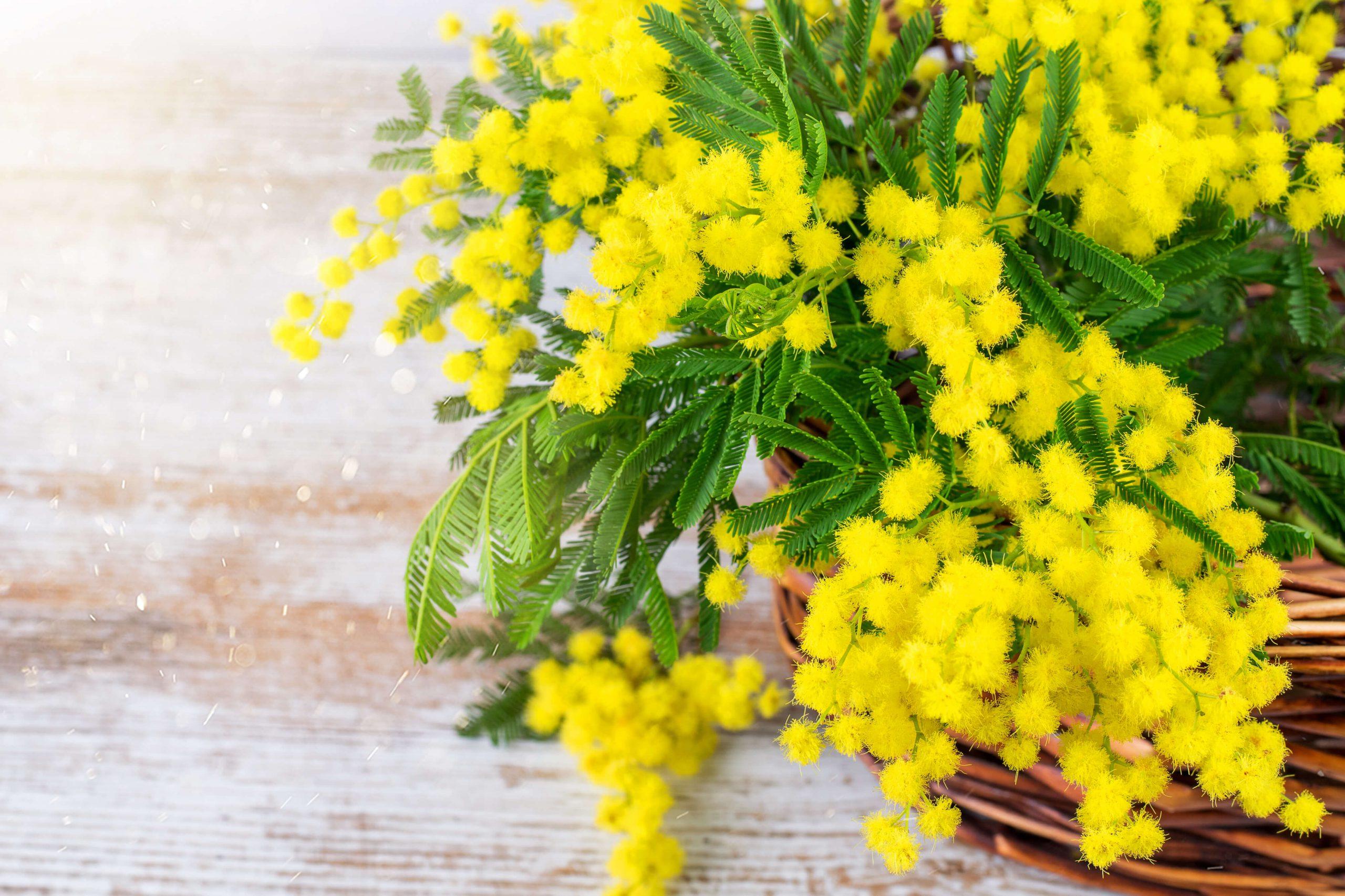 mimosa-categoria-festa-della-donna